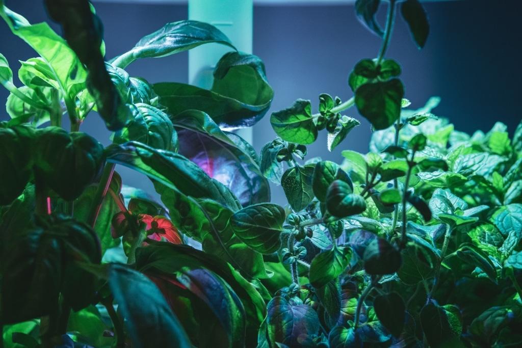 Plantui Smart Garden Plants Basil Oregano Mint 03