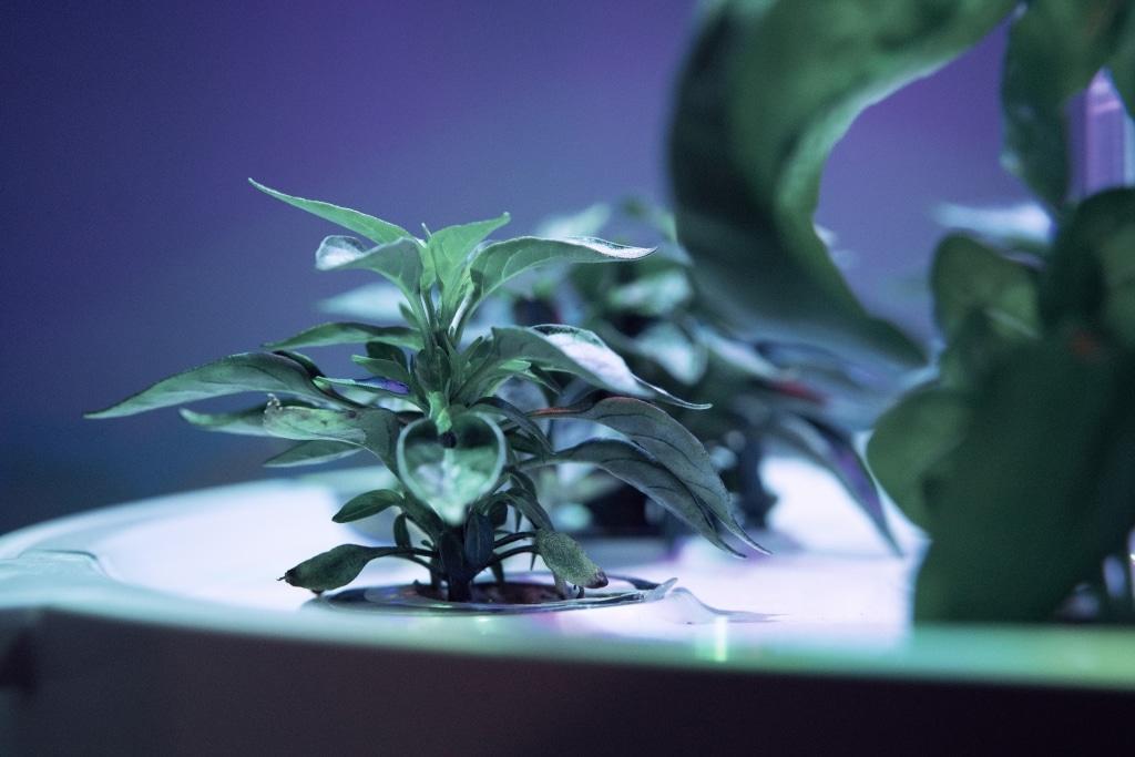 Plantui Smart Garden Plants Chili 01