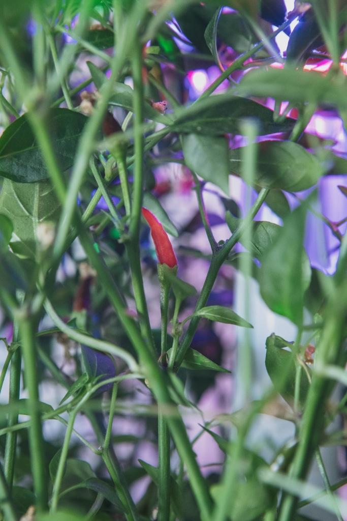 Plantui Smart Garden Plants Chili 04