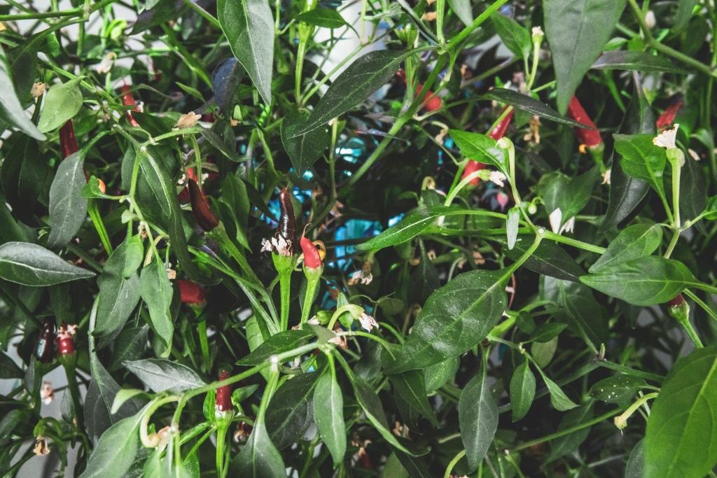Plantui Smart Garden Plants Chili 05