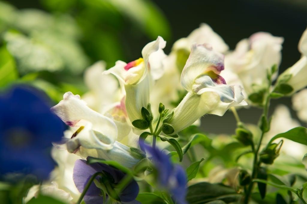 Plantui Smart Garden Plants Snapdragon 02