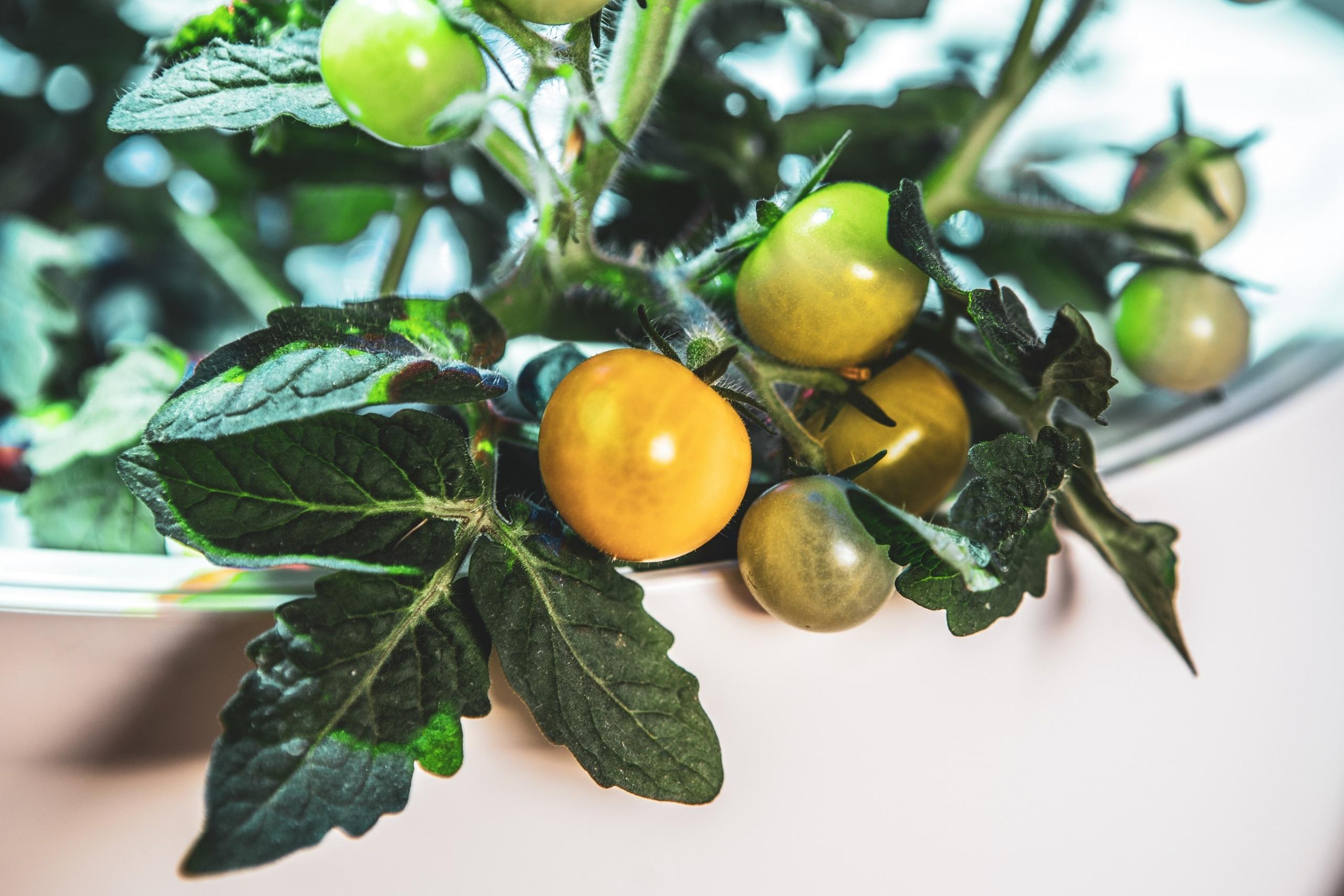 Plantui Smart Garden Plants Tomato 02 scaled