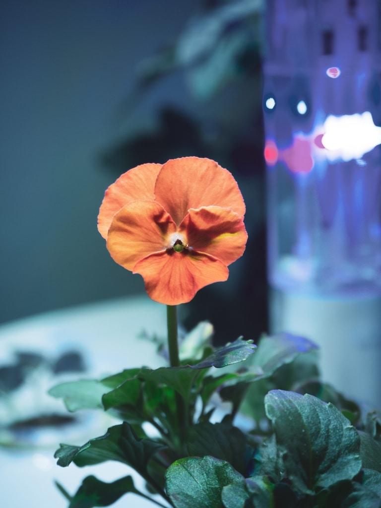 Plantui Smart Garden Viola Orange 01