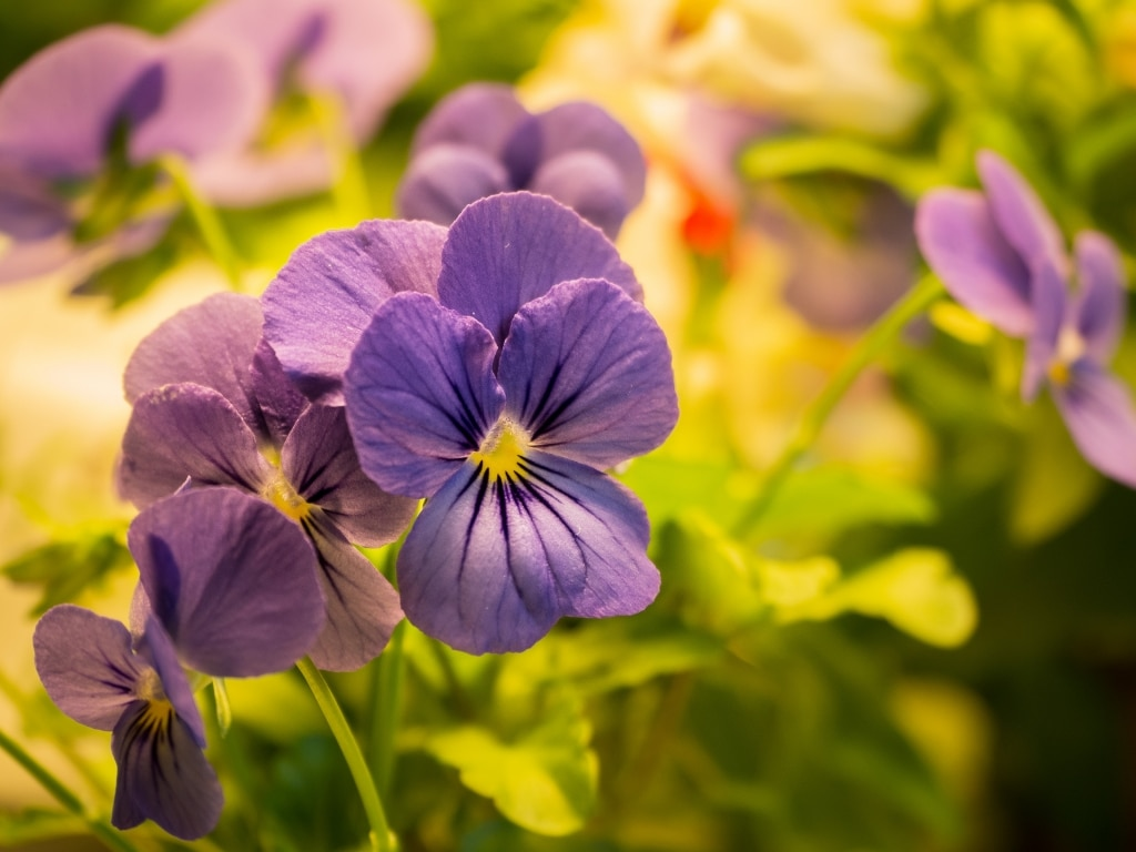 Plantui Smart Garden Viola Purple 01