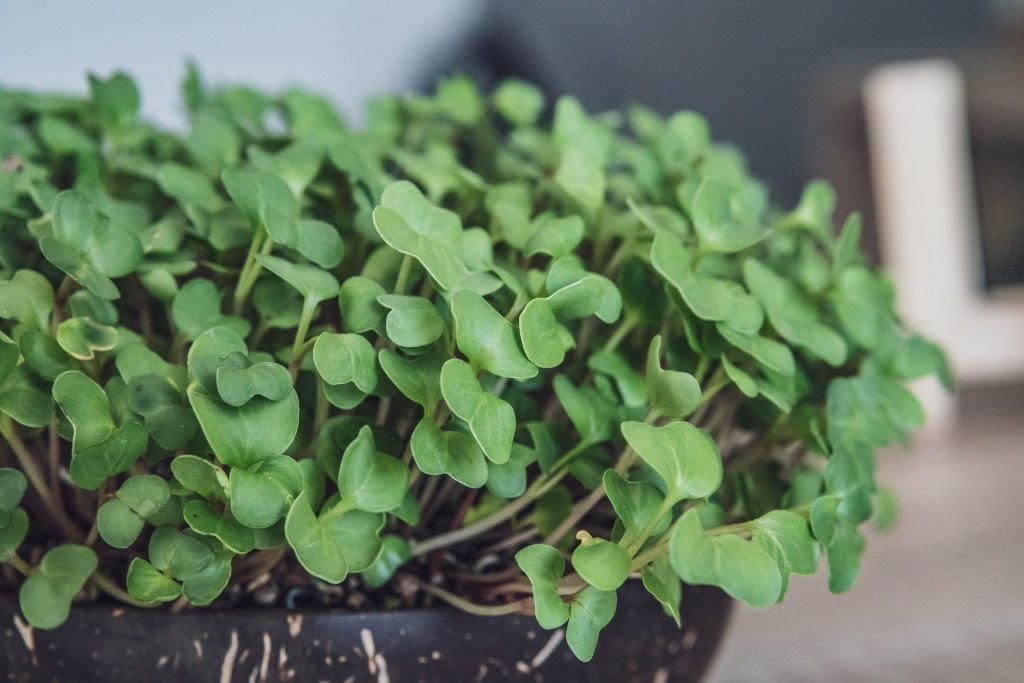 Grow Grow Nut Brokkoli 11