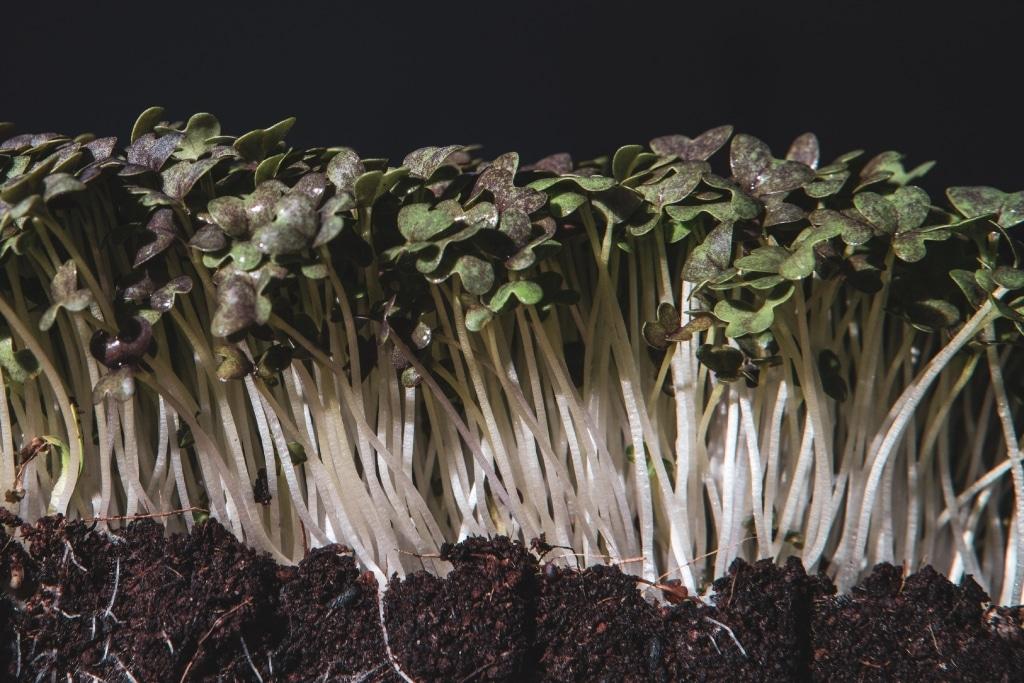 Grow Grow Nut Mizuna 01 1