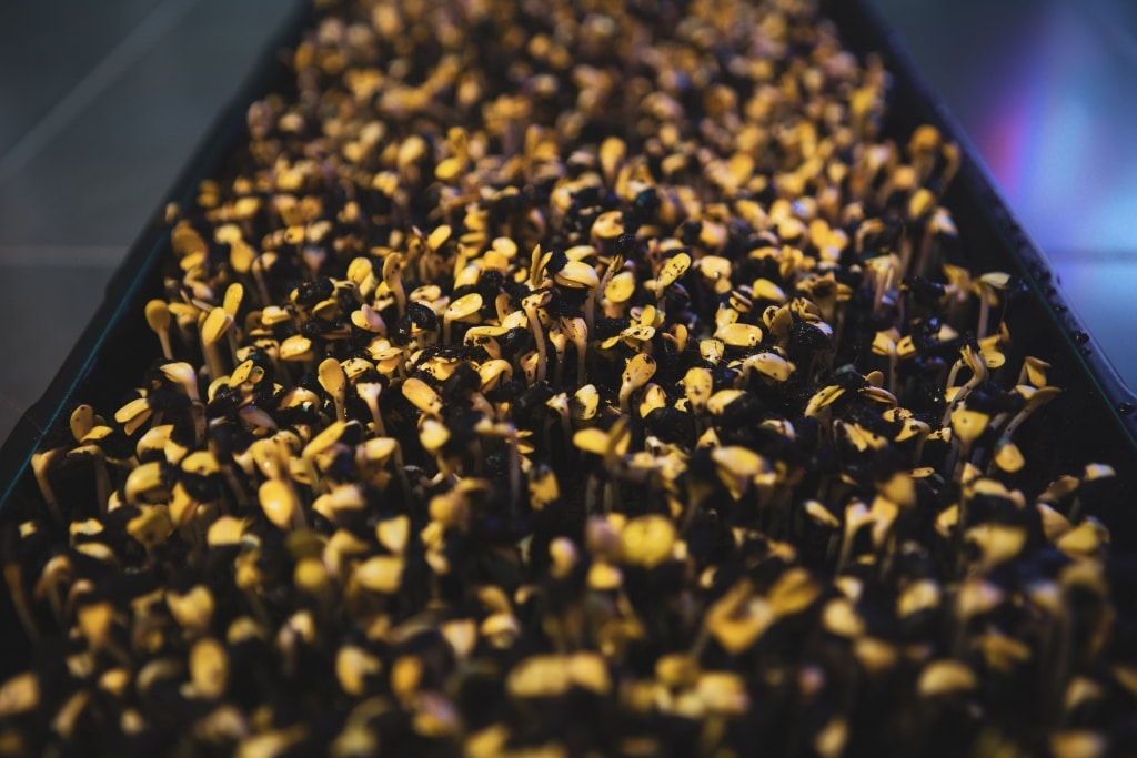 Microgreens Sonnenblumen 03