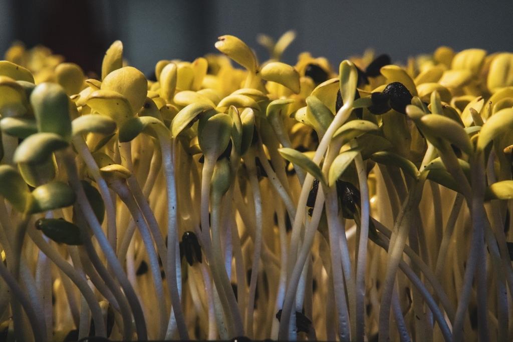 Microgreens Sonnenblumen 05