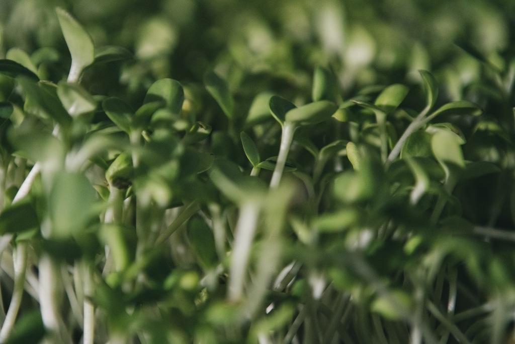 Microgreens Sonnenblumen 07